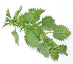 Pokrzywa – wykorzystanie właściwości leczniczych zioła