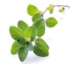 Oregano – właściwości i zastosowanie zioła
