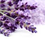 lawenda fioletem pachnąca