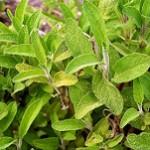 Szałwia lekarska – roślina doskonała