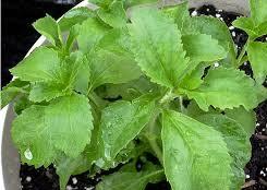 Stewia uprawa rośliny i jej zastosowanie oraz skład