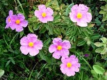Czystek (Cistus Incanus) zwany siwym lub szarym. Ma charakterystyczne różowe kwiaty.