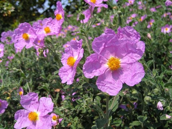 Czystek siwy (Cistus Incanus) - jedna z odmian znanego i popularnego zioła. Ze względu na wysoką wrażliwość na niską temperaturę często uprawiany jest jako roślina doniczkowa. Na zdjęciu widoczne są charakterystyczne różowe kwiaty Cistus Incanus.