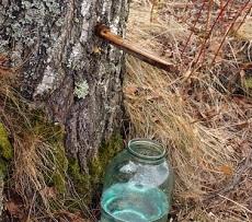 Pozyskiwanie soku z brzozy prosto z drzewa. Ze względu na swoje unikalne właściwości oskoła znakomicie spełnia swoją rolę w naturalnych oczyszczaniu organizmu z toksyn.